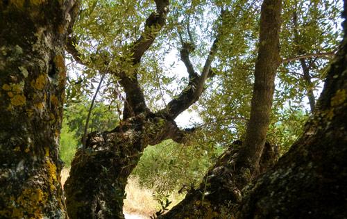 Ελληνικοί Ελαιώνες hellenic groves